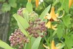 Belles indigènes / Un florilège de belles plantes du Québec