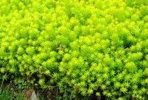 PLANTS succulent groundcovers / by Kat's Landscape Design