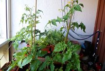 our balcony tomatoes / Naša snaha na balkóne doma
