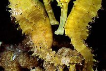 Sea Horses and Dragons / Seahorses are the only animals in the entire animal kingdom in which the male, not the female gives birth and cares for their young