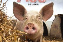 2015 Pigs Calendar