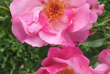 Alistair Clark Roses