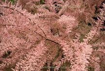 Krzewy Strubs  Arboretum Trojanów