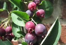 amelanchier/serviceberry