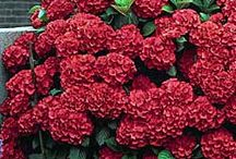 Happening Hydrangeas / Collection of Hydrangeas / by Lawncare Plus Design~Landscaping Hardscaping Gardening