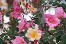 Garden ideas / Roses