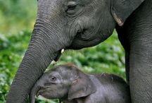 Elefanter / Elefanter(ibland galna)