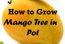How To Grow Mangoes In a Pot