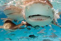 Sharkssss