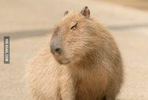 kapibarki
