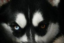 Husky's ❤️