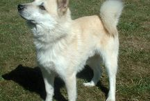 """Norwegian Buhund / The Norwegian Buhund is an ancient breed. A member of the spitz family it travelled as companion and guard of the Vikings and is thought to be behind many other herding breeds such as the Icelandic sheepdog.  The breed is one of a number of dogs loosely referred to as being of the """"spitz type."""" """"Spitz"""" refers generally to so-called """"Northern"""" or """"Nordic"""" dog breeds that have conformational characteristics resembling those of wolves. - See more at: http://www.noahsdogs.com/"""