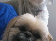 Shih Tzu Puppies / All About Shih Tzu