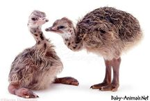 Baby ostrich / Baby ostrich pictures