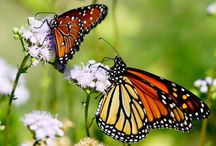 Butterfly Gardening / Native and adaptive plants that will attract butterflies and with the addition of milkweed plants will make a great habitat /waystation for monarch butterflies.