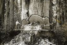 Photo of California lumberjacks, in Redwoods
