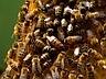 Imkerei Ahrens , Honig , Bienen  , Imker werden / Imkerei Ahrens, Müden/Ö.   HERZLICH WILLKOMMEN in unserer Imkerei. Auf den folgenden Seiten finden Sie Informationen über unser Angebot an Honig aus der Lüneburger Heide und aus meiner Zucht.  Die Imkerei Ahrens aus Müden/Örtze ist eine der wenigen Berufsimkereien Norddeutschlands. Geführt wird sie in dritter Generation vom Imkermeister Klaus Ahrens.  Der vom deutschen Berufsimkerbund anerkannte Fachbetrieb besteht bereits seit 1910  http://imkerei-ahrens.de/