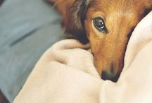 ~ Dachshunds ~ / by *Lucky*