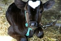 Cows are cuties! / by Connie Erikson