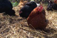 Villahønsene / Høner i hagen