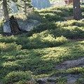 Mountain Native Plants / Plants native to the Sierra Nevada region.