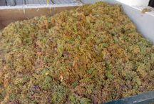Vendimia de las primeras uvas Pedro Ximénez / Ya hemos empezado a recoger las primeras uvas Pedro Ximénez de nuestros viñedos y llevándolas al Lagar de la Bodega. Ahí van algunas imágenes del proceso...