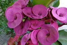 Euphorbia - trnová koruna