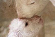 Bergers,chèvres ,moutons,vaches , / Des chèvres