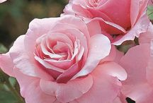 Flora - Roses