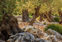 Olijfbomen/ Oude bomen