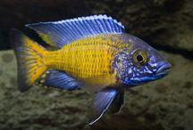 peces ciclidos africanos / ciclidos africanos