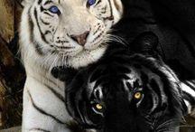 vadállatok és macska félék
