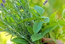 Natural Medicine - Herbs