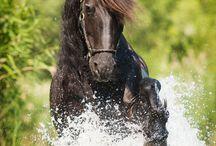 Konie fryzyjskie
