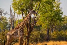 Zambia / If you are looking for adventure, to get away from the hordes, or to feel the beating heart of Africa, then a Zambia safari is for you.