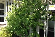Klätterväxter