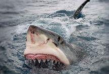 Shark, Whale, Fish