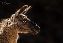 Llamas en Cabarceno, Cantabria, Spain