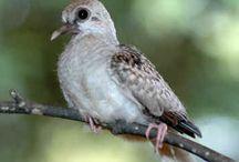 Diamond Doves & Finches