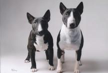 Mini bull terrier / Mini Bull Terrier