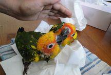 Aratinga Solstitialis Zonparkiet / http://www.babyvogels.nl baby zonparkieten