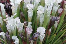 Inspiring Carnivorous Plants / Fascinating beauty of food entrapment