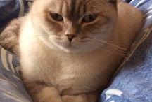 british cat / British cat Babett