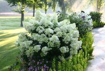 Plants Hydrangeas
