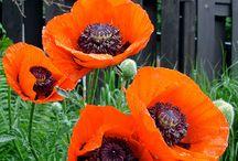 Poppies / Flowers