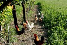 Galline and &