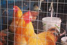 tavuk / Elimde gönderime hazır 30 adet BUF ve white BRAHMA yumurta sı vardır