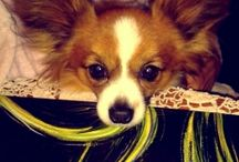 Jelly the papillon / Jelly is a cute papillon