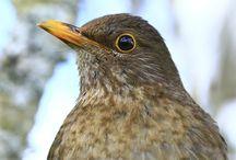 Blackbird / My second favourite garden bird and I know many!