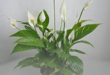 Plantas para Oficina